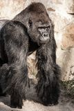gorilla male Royalty Free Stock Images