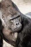 gorilla male Stock Photo