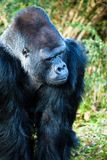 gorilla male Royalty Free Stock Photo