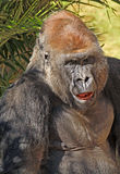 Gorilla. Male Lowland Gorilla Face Forward With Open Mouth Stock Photography