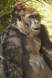 Gorilla. Male Lowland Gorilla Sitting With Open Mouth Royalty Free Stock Photo
