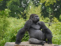 Gorilla. Male gorilla sat on a rock Stock Images