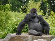 Gorilla. Male gorilla sat on a rock Royalty Free Stock Images