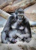 Gorilla Mammals Wildlife Fotografía de archivo
