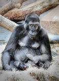 Gorilla Mammals Wildlife Stock Photography