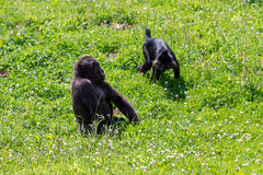 Gorilla and Mangabey playing Royalty Free Stock Photo