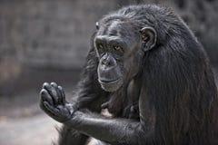 Gorilla maschio 3 Fotografie Stock Libere da Diritti