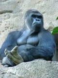 Gorilla maschio Fotografie Stock Libere da Diritti