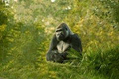 Gorilla maschio Immagine Stock