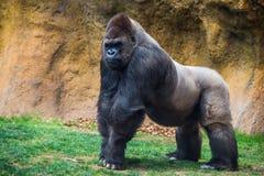 Gorilla maschio con la parte posteriore dell'argento fotografia stock libera da diritti