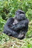Gorilla maschio della montagna che sembra alimentata-in su Fotografia Stock
