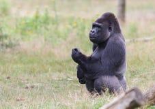Gorilla maschio di appoggio argento Fotografie Stock Libere da Diritti