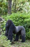 Gorilla maschio (gorilla della gorilla) Fotografia Stock