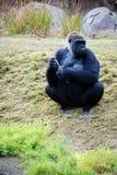 Gorilla in meditatie Stock Afbeeldingen