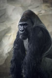 Gorilla in meditation Stock Photography