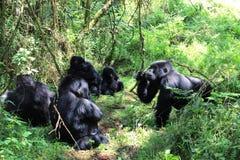 Gorilla meeting. Silver-back gorilla holds a meeting in Vurunga national park Rwanda Stock Image