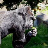 Gorilla met appel Royalty-vrije Stock Foto