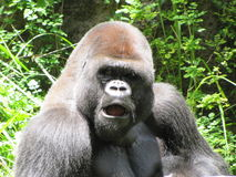 A Gorilla in the Midday Sun. Here is a photo of a Gorilla in the bright sunlight looking around Stock Photos
