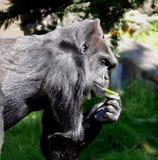 Gorilla mit Apfel Lizenzfreies Stockfoto