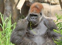 Gorilla mit Blume im Mund Stockfotos