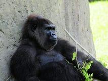 Gorilla mit dem Zweig Lizenzfreies Stockfoto