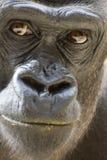 Gorilla mit der schmutzigen Lippe Stockfotos