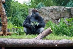 Gorilla mit einem Zweig Stockfotos