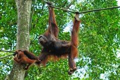Gorilla mit Schätzchen Lizenzfreies Stockbild