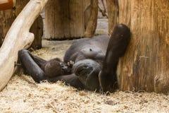Gorilla mit Schätzchen lizenzfreie stockfotos