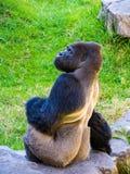 Gorilla mit Seitenblick Lizenzfreies Stockbild