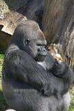 Gorilla mit Zwiebel Lizenzfreie Stockfotos