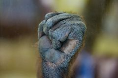 Gorilla monkey ape fist palm close-up fingers touching glass zoo. Gorilla monkey ape fist palm close-up fingers touching glass in zoo royalty free stock image