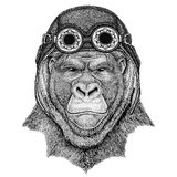 Gorilla, monkey, ape Frightful animal wearing aviator hat Motorcycle hat with glasses for biker Illustration for. Wild animal wearing aviator hat Motorcycle hat Stock Image