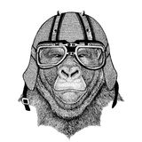 Gorilla, monkey, ape Frightful animal wearing biker helmet Animal with motorcycle leather helmet Vintage helmet for. Wild animal wearing biker helmet Animal with Stock Photography