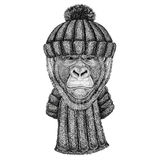 Gorilla, monkey, ape Frightful animal wearing knitted hat and scarf. Wild animal wearing knitted hat and scarf Stock Image