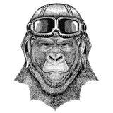 Gorilla, monkey, ape Frightful animal wearing leather helmet Aviator, biker, motorcycle Hand drawn illustration for. Gorilla, monkey, ape Frightful animal Hand Royalty Free Stock Photography