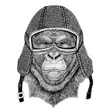 Gorilla, monkey, ape Frightful animal wearing vintage motorcycle helmet Tattoo, badge, emblem, logo, patch, t-shirt. Wild animal wearing vintage motorcycle Stock Image