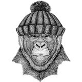 Gorilla, monkey, ape Frightful animal wearing winter knitted hat. Wild animal wearing winter knitted hat Image for tattoo, badge, t-shirt Royalty Free Stock Photography