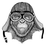 Gorilla, monkey, ape Frightful animal Wild animal wearing biker motorcycle aviator fly club helmet Illustration for. Wild animal wearing biker motorcycle aviator Stock Photography