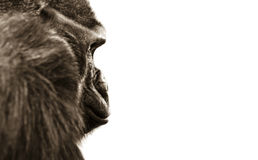 Gorilla monkey eyes isolated Royalty Free Stock Images