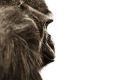 Gorilla monkey eyes isolated Royalty Free Stock Images