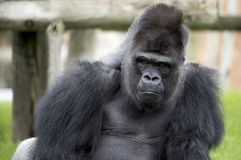Gorilla. Monkey with his thoughtful expression makes us reflect on how close to us our ancestors Stock Photography