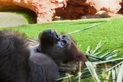 Gorilla monkey in park at Tenerife Canary Royalty Free Stock Photo