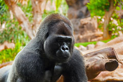 Gorilla monkey in park at Tenerife Canary Royalty Free Stock Images