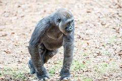 Gorilla monkey picking food speck off the ground Royalty Free Stock Photo