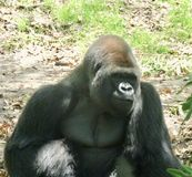 Gorilla morgens Stockbild