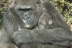 Gorilla Mother and the baby Stock Image