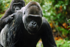 Gorilla mother carrying child Royalty Free Stock Photography
