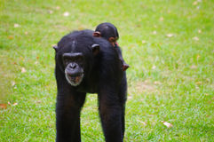 Gorilla mother carrying a child. Carrying a baby gorilla mother, looking into the distance Stock Photography
