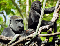 Gorilla mother and child. Gorilla mother watchful as her child learns the first steps of climbing Royalty Free Stock Images